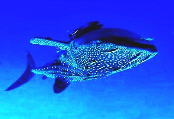 Whale-sharks in Cenderawasih ba