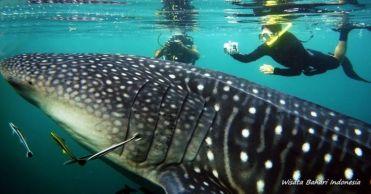 Whale Sharks Nabire