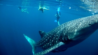 Nabire - Whale Sharks west papua
