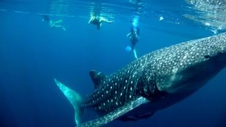 Nabire - Whale Sharks west papua