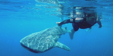 Kwatisore Whale Sharks West Papua