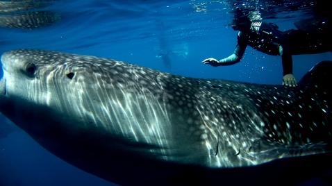 Kwatisore Whale Sharks West Papua