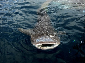 whale shark nabire