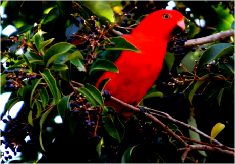 red bird of paradise in papua